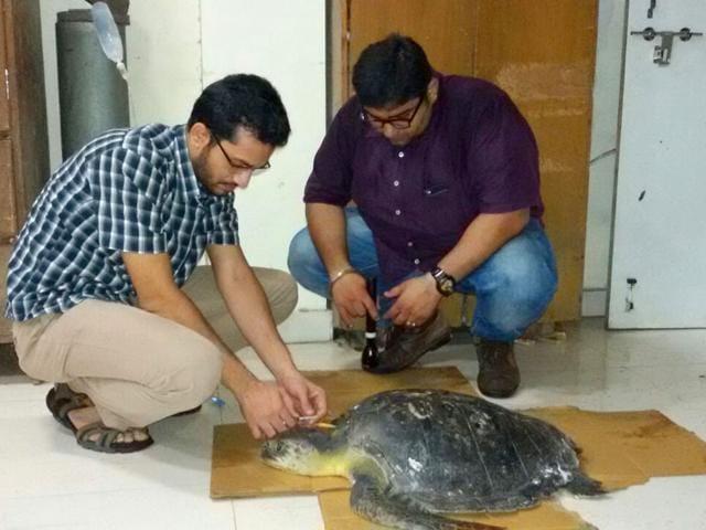 olive ridley turtle,olive ridley turtle rescued,Navi Mumbai