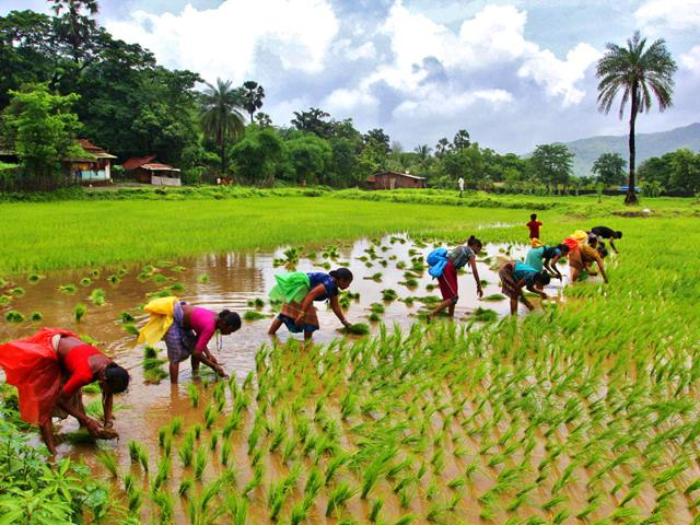 Farmers sow seeds in the paddy fields of Yeoor village in Thane. (Photo: Praful Gangurde)