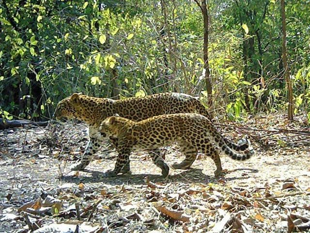 The camera trap study, conducted under the WCT-USAID Tiger Matters Programme, between Nov 2014 and June 2015, found around 180 adult leopards living outside protected forest areas in Vidarbha. (Photo credit - © Wildlife Conservation Trust/USAID/Maharashtra Forest Department | Camera traps: Panthera Inc.)