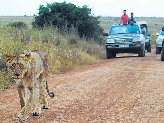 According to National Geographic, some 2,00,000 lions roamed across Africa a century ago. Today, there are less than 30,000. (AFP Photo)
