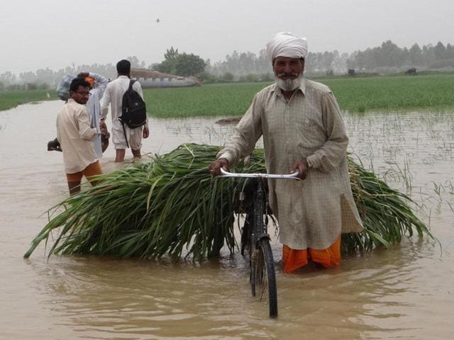 A farmer carrying fodder on his cycle going to his fields situated in remotes villages in Sultanpur Lodhi on Saturday. (Parampreet Singh Narula/HT Photo)