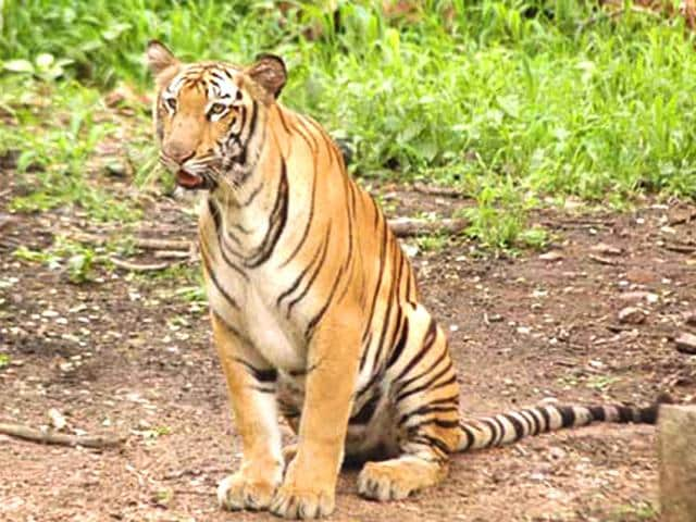 The Royal Bengal tiger jumped off a 10 feet deep moat in the evening when it was being shifted to another enclosure, creating a scare among hundreds of visitors. (Photo courtesy: www.hydzoo.in)