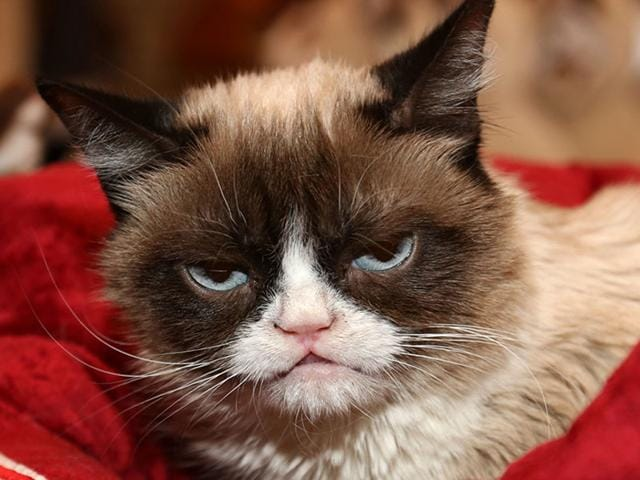 Grumpy Cat, the Internet celebrity, will be recreated as an animatronic with five different movements, and will first be unveiled at Madame Tussauds' San Francisco location later this year. (Shutterstock Photo)