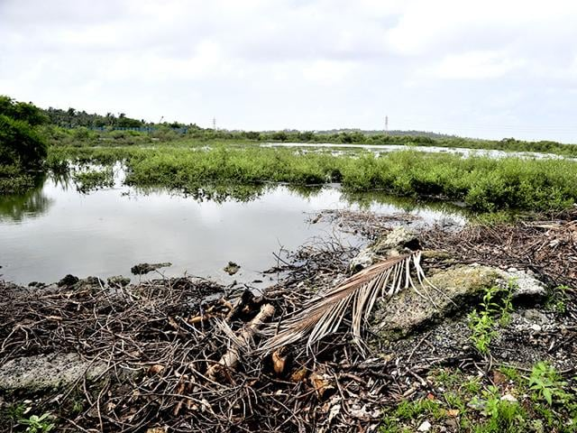 In just a year, 2,000 mangrove trees at a Madh Island plot, in an area protected under the CRZ, have been hacked and burnt. (Vidya Subramaniam/HT photo)