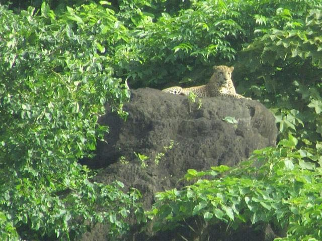A leopard was spotted at Ghodbunder Road. Images of the animal seated atop a rock have gone viral on the social media. (Photo credit: Thane forest range)
