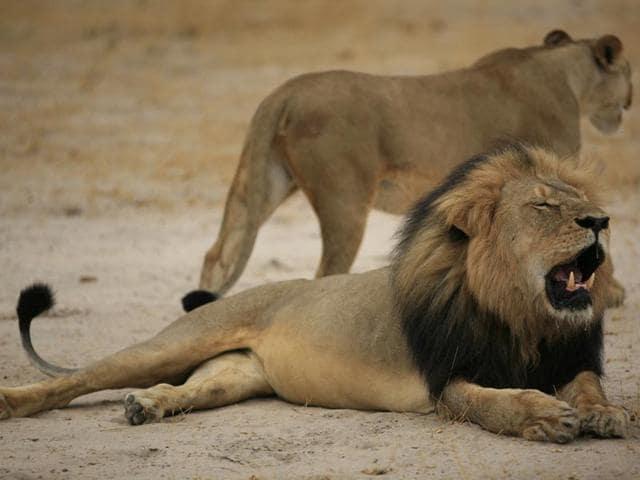 Minnesota,Cecil,Zimbabwean lion