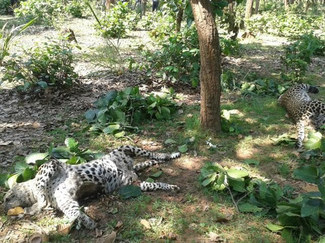 The carcass of two leopards that were found dead in Umaria district on Monday.