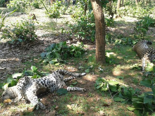 2 leopards found dead in Umaria near Bandhavgarh