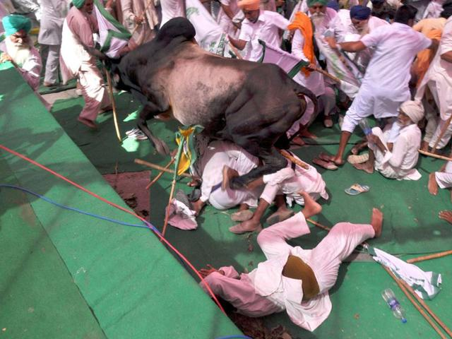 A bull went completely out of control injuring people with its horns during a farmers protest in Bathinda. (Sanjeev Kumar/HT Photo)