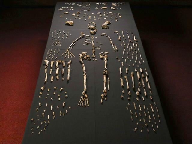 A hand out image made available by the University of the Witwatersrand, shows the skeleton of Homo naledi pictured in the Wits bone vault at the Evolutionary Studies Institute at the University of the Witwatersrand, Johannesburg. The fossils are among nearly 1,700 bones and teeth retrieved from a nearly inaccessible cave near Johannesburg. (AFP Photo)