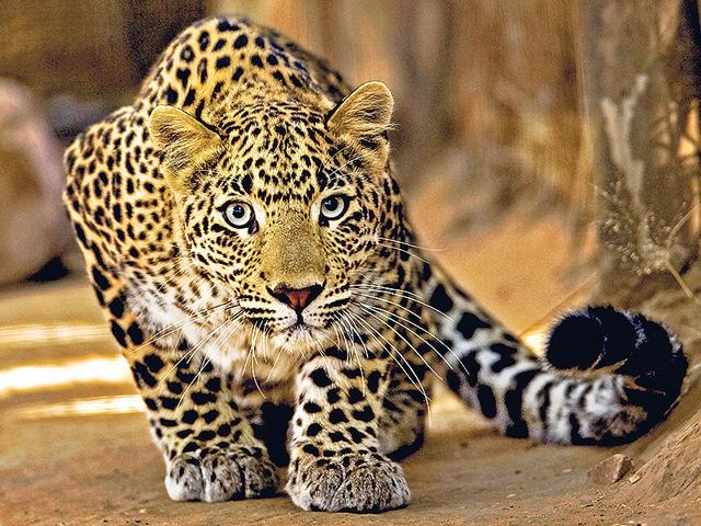 The 2014 census by Wildlife Institute of India has estimated that there are 12,000 to 14,000 leopards in the wild. (Photo: Aditya Singh / Sanctuary Photo Library)