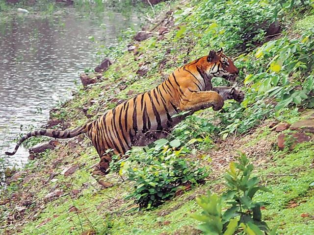 In Maharashtra, 74 of the 170 tigers are outside protected regions, leading to an increase in man-animal conflict.