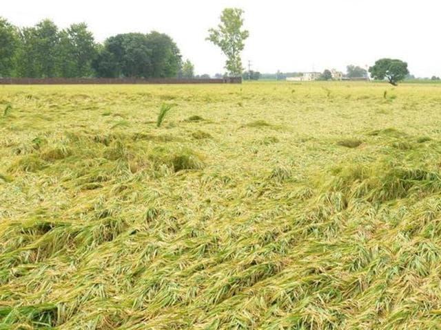Paddy crop,Cotton crop,Heavy rains