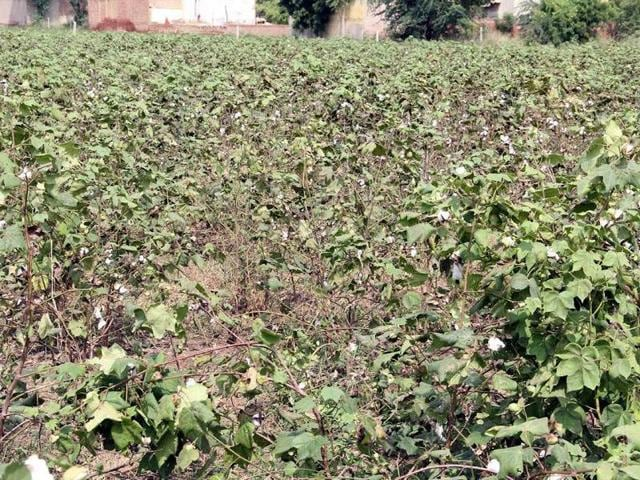 Rain,Farmers woes,Paddy crop