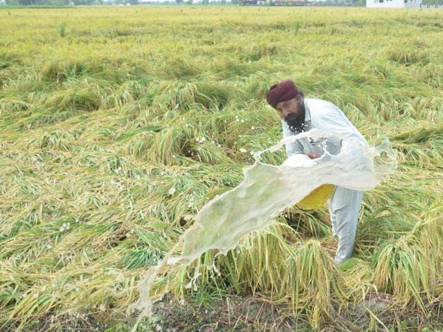 Paddy crops,Heavy rains,Farmer's woes