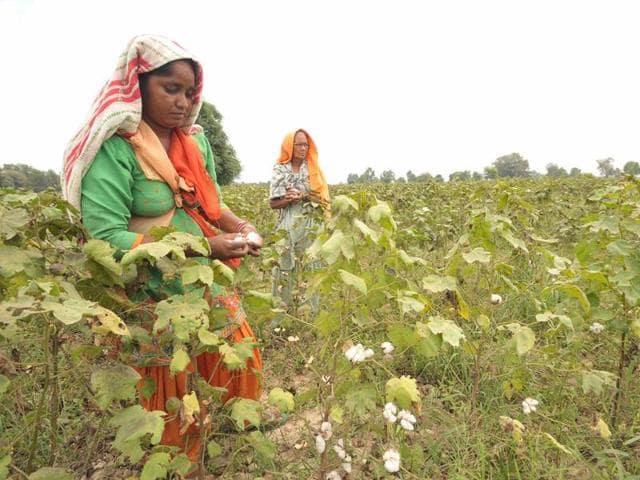 Women farmers working on the cotton farms at Karamgarh Satran village in Mansa.