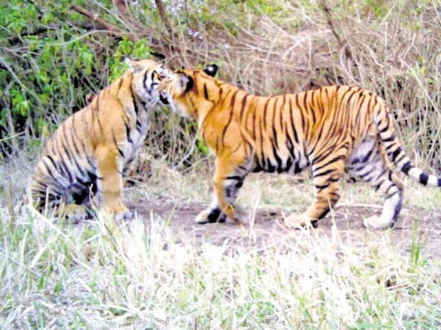 Dehradun,man-animal conflict,tigers