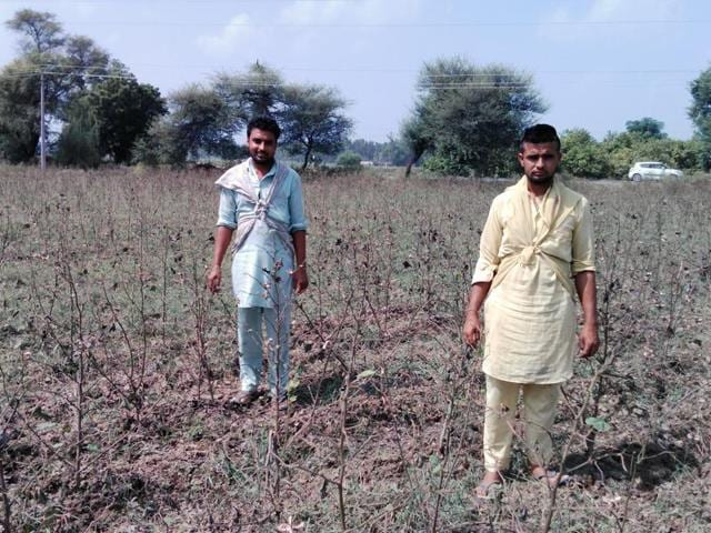 The cotton crop of Faridkot's Jagseer Singh and his brother was wiped out by the whitefly attack.