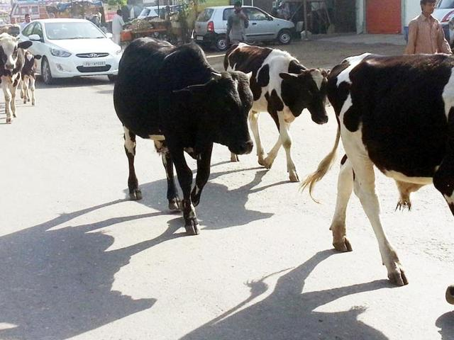 Stray cattle menace