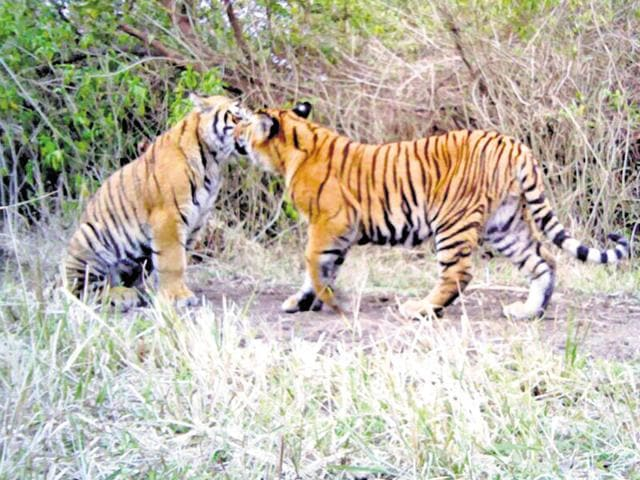 A pair of tigers at Gohri Range of Rajaji Tiger Reserve.