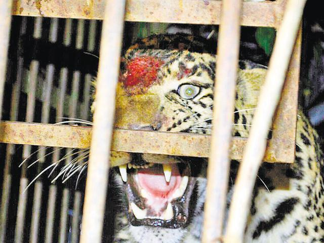 The leopard hurt itself by banging its forehead against the grill of the cage on Tuesday.