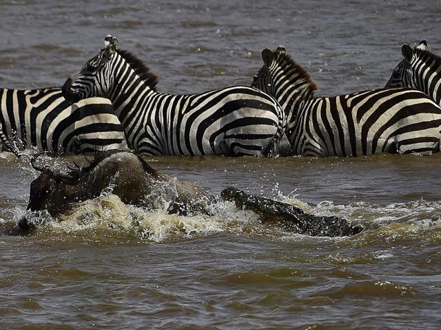 A crocodile attacks a wildebeest at a river crossing.