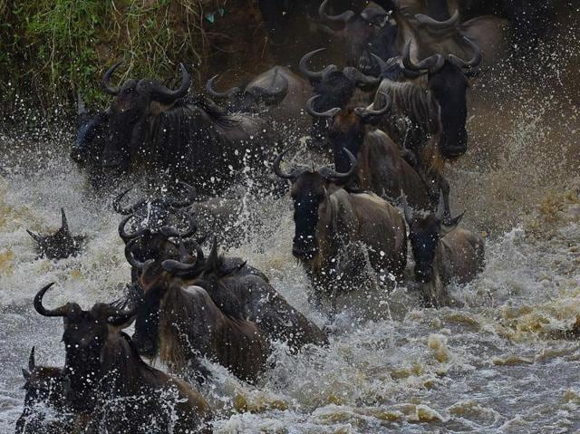 It's migration season in Masai Mara, with hundreds of thousands of wildebeest crossing from the Serengeti to the Masai Mara game reserve in search of food.