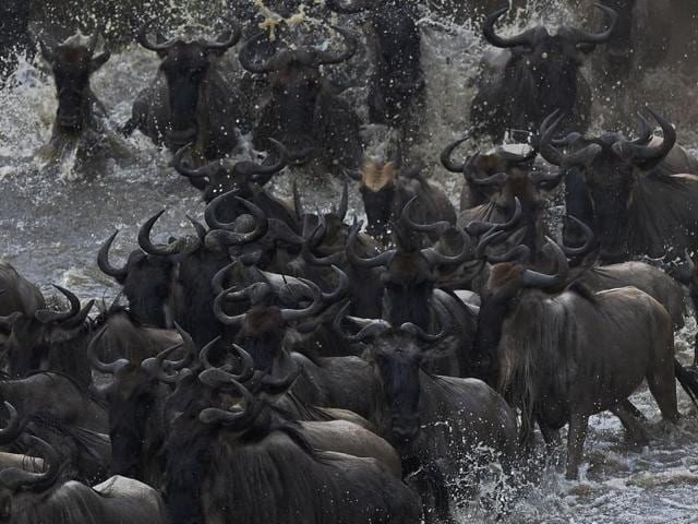 Herds of wildebeest crossing the Masai river. The river is infested with crocodiles, and many wildebeest and zebras never make it to the other end.