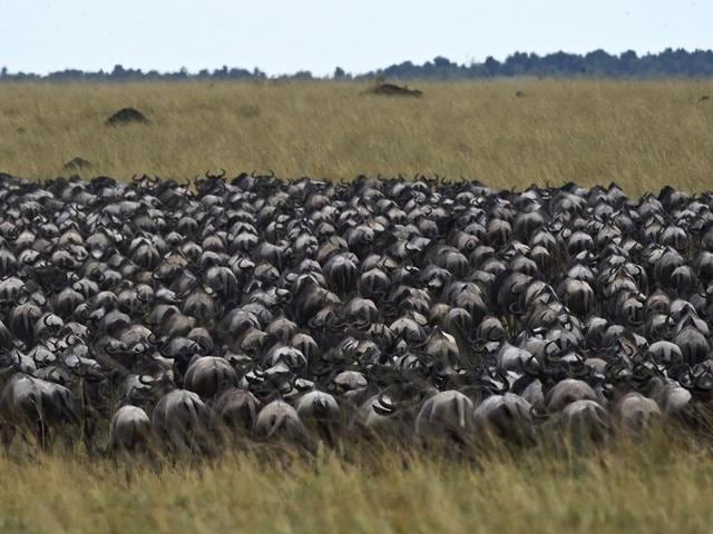 Survival of the fittest: Herds of wildebeest who've managed to cross over to the other side, the grasslands of the Masai Mara game reserve.