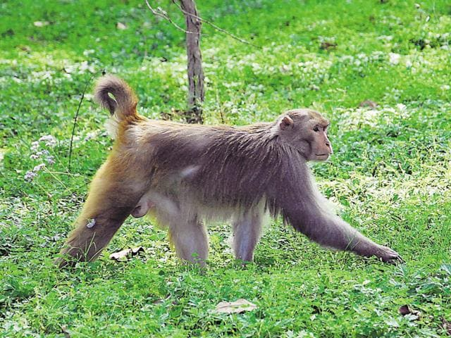 Forest officials say they are fed up of monkey menace.