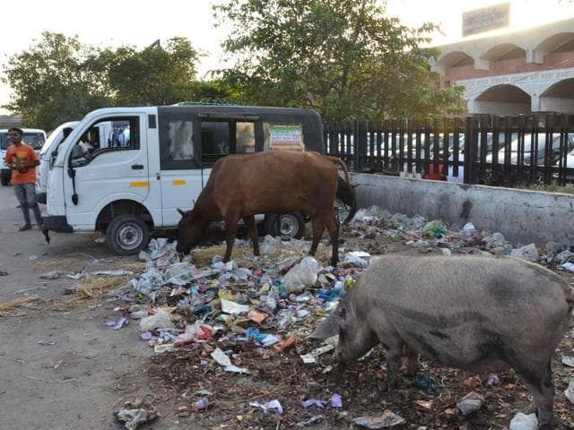 Stray animals feeding on garbage is a common sight in Ambala.