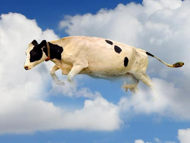 The cow crash landed from the sky on the car's bonnet.