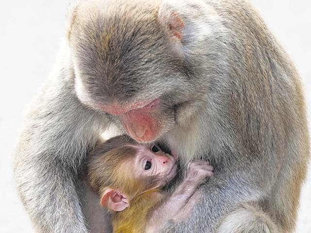 A mother monkey and with the baby.