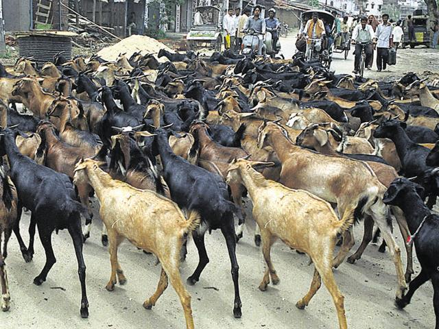 Goats being taken to a slaughterhouse in Ranchi.