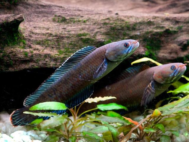 A snapshot of vibrant blue walking snakehead fish.