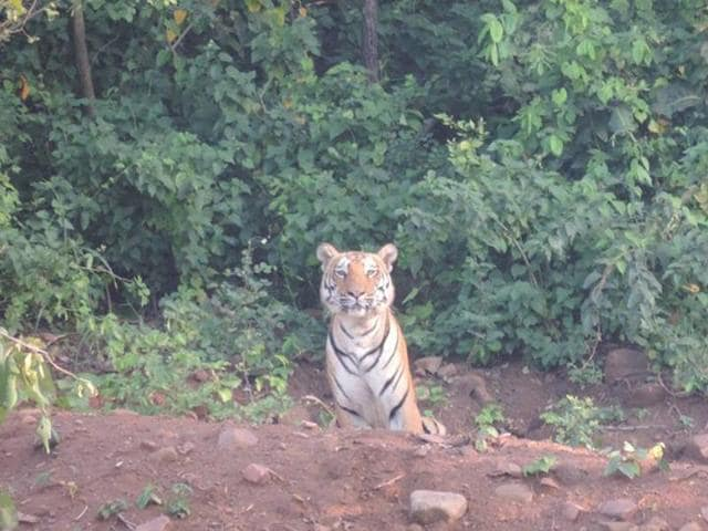 A tiger was spotted near the Kaliasot Dam, located on the outskirts of Bhopal, last week.