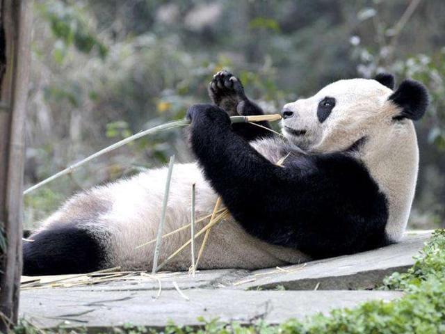 Wild Pandas,Gansu,China