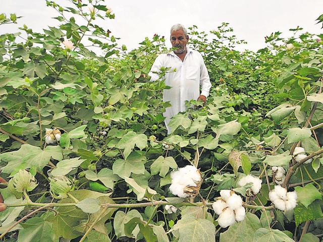 While Bt cotton offers protection from bollworms, not all varieties are suitable for Punjab.