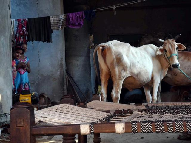 Cows at a house at Bisada village where Mohammad Ikhlaq was lynched by a mob after rumours of beef storage.