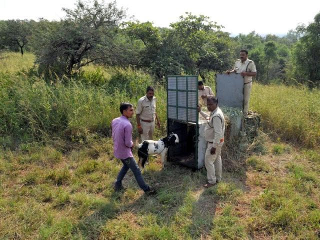 Ralamandal sancuary,man-animal conflict,MP forest department