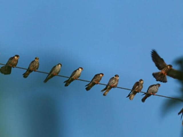 Rita Banerji's Flight to Freedom -- The Amur Falcon Story is part of the festival.