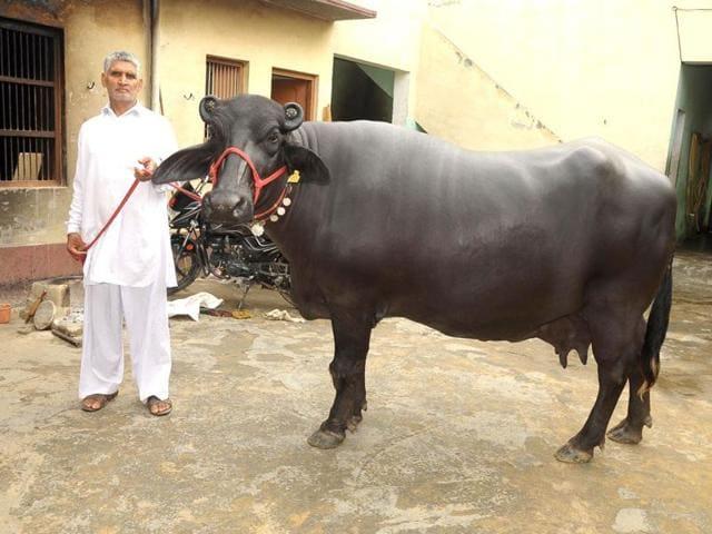 buffalo meat,beef,Bharatiya Muslim Sangh