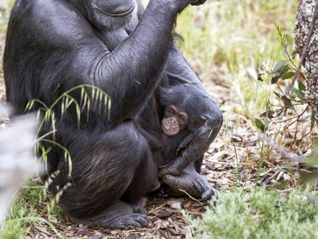 Baby chimp Boon - who was orphaned when his mother Soona died shortly after he was born clinging on to his new adopted mother Zombi in Monarto, southeast of Adelaide.
