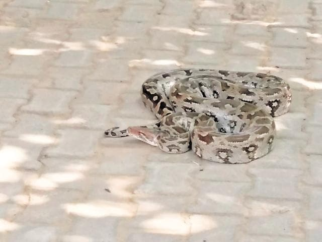 Villagers of Behrampur, Sohna, found the snake on a tree near a Shiv temple in the village. They informed the wildlife department, which rushed to the spot and rescued the reptile.