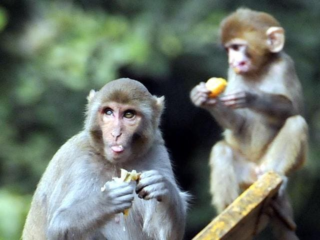 Monkeys can be seen roaming freely at various hostels and departments on the PU campus.