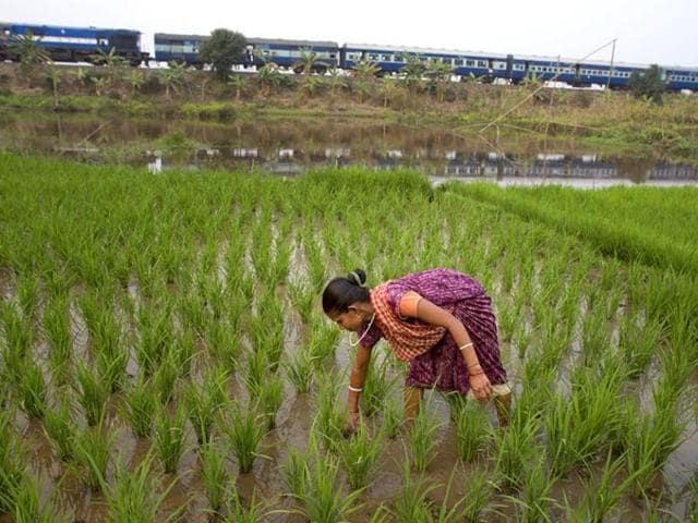The state's rice bowl, straddling at least 16 assembly constituencies, nature's visible bounty hides the harsh reality – about failing crops due to erratic weather earlier and a paddy procurement scam which has seen the government clamp down on the rice mills in three districts. (AP file photo)
