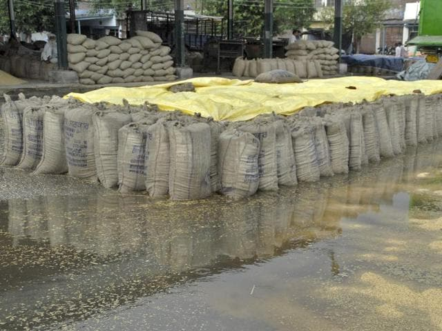 Paddy bags lying in the new grain market after showers in Ludhiana on Wednesday.