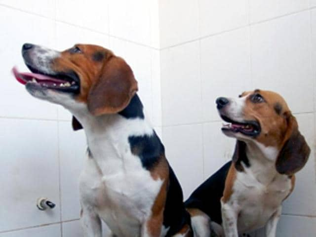 Genetically modified beagles.