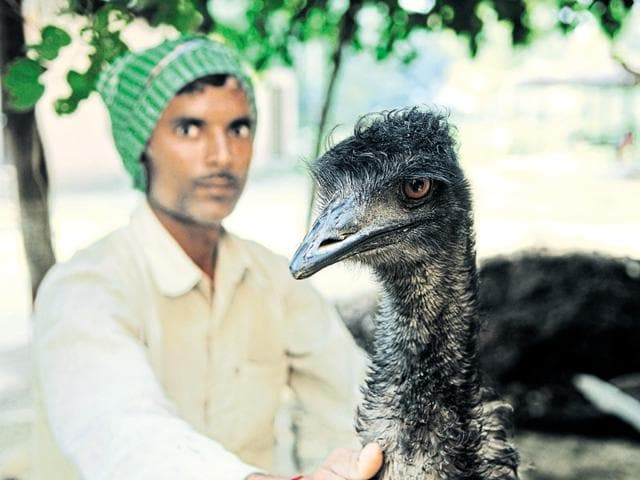 Emu,poacher,Surajpur bird sanctuary