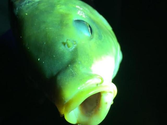 The gasping carp caught in the glare of flashlights.